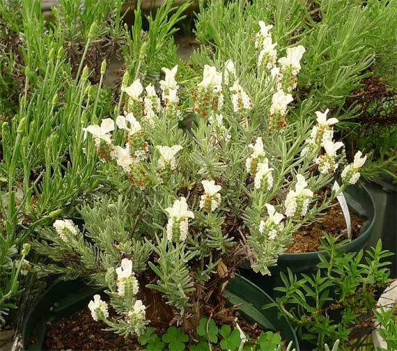 白花フレンチラベンダー