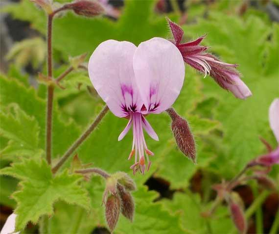 グレープリーフゼラニウム(Pelargonium hispidum)