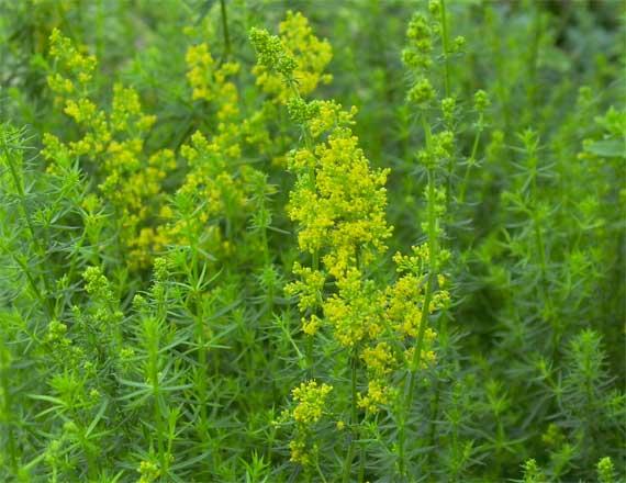 黄色い花は6月ぐらいに開花