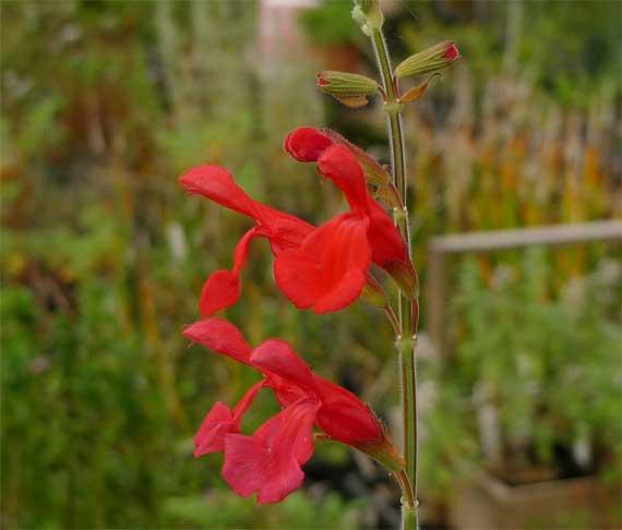 サルビア・ダルシー。花だけ見ると大きなチェリーセイジである。