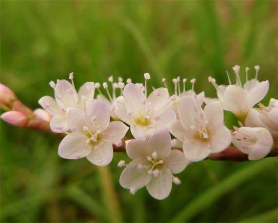 近くに寄って見るととても可愛らしい姿の花である