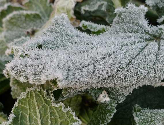 ボリジの葉にもびっしりと霜が