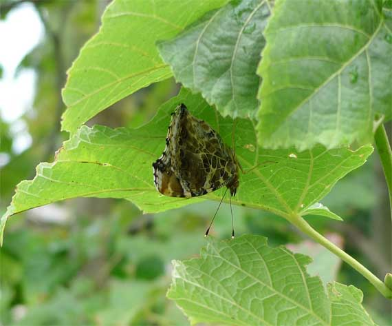 ギンヨウボダイジュと蝶