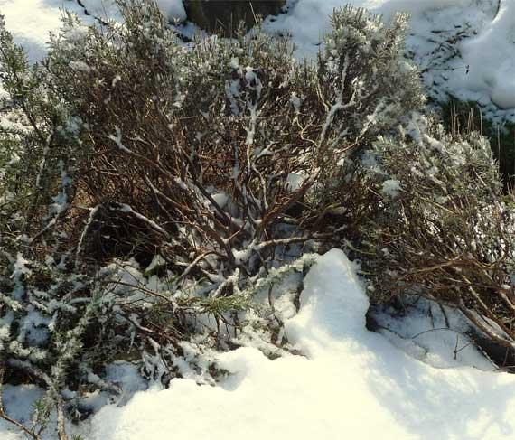 比較的雪にも強いグロッソラベンダーもペシャンコに