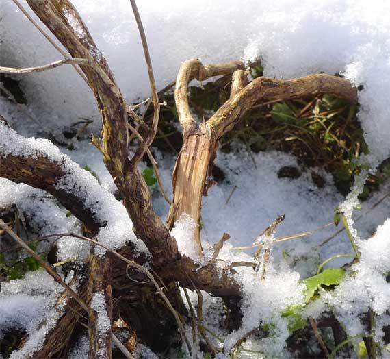 ラベンダーの枝折れ