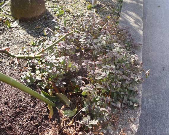 まだ葉は冬の装いだが、どこかやわらかそうな雰囲気が出てきた。オレガノ・プルケルム。