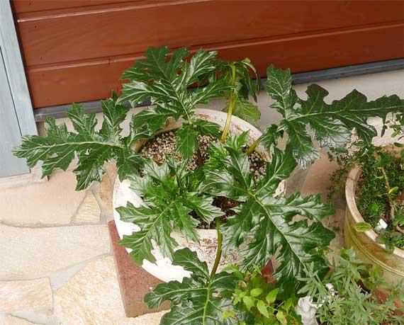 acanthus.mollis