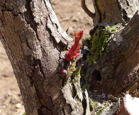 老木からの新芽