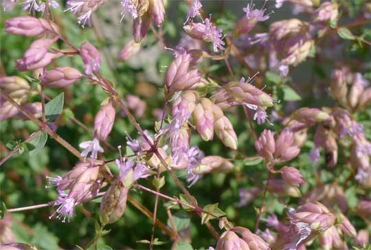 オレガノ・ハイブリッドの花