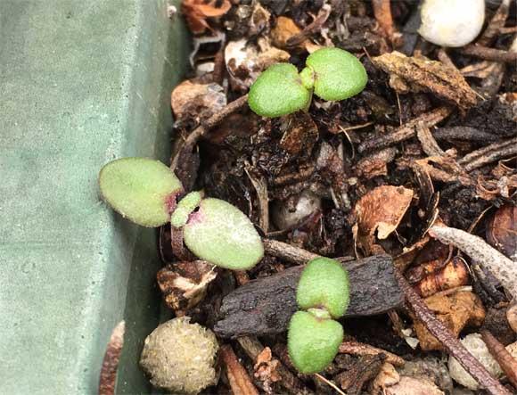 ローズマリーの発芽