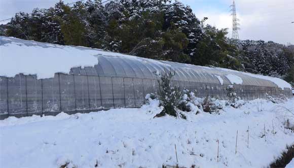 ビニールハウスと雪
