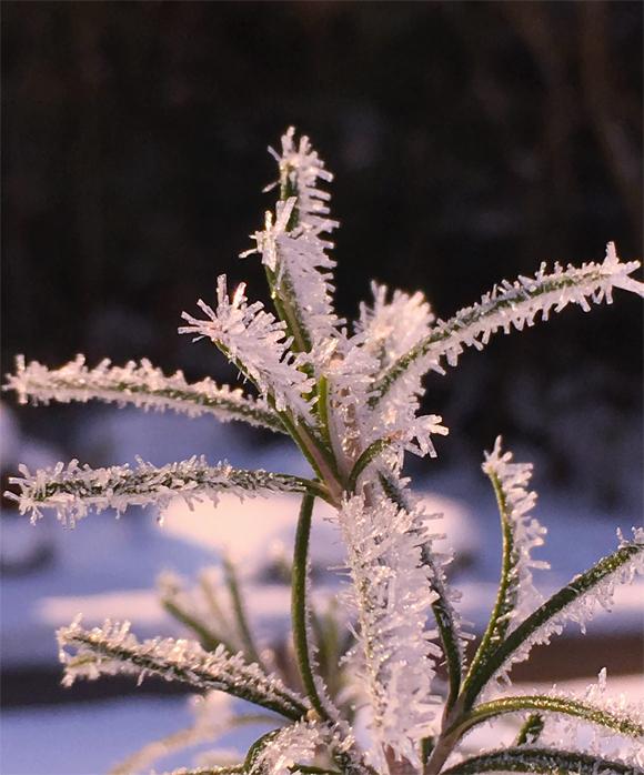 ローズマリーと霜