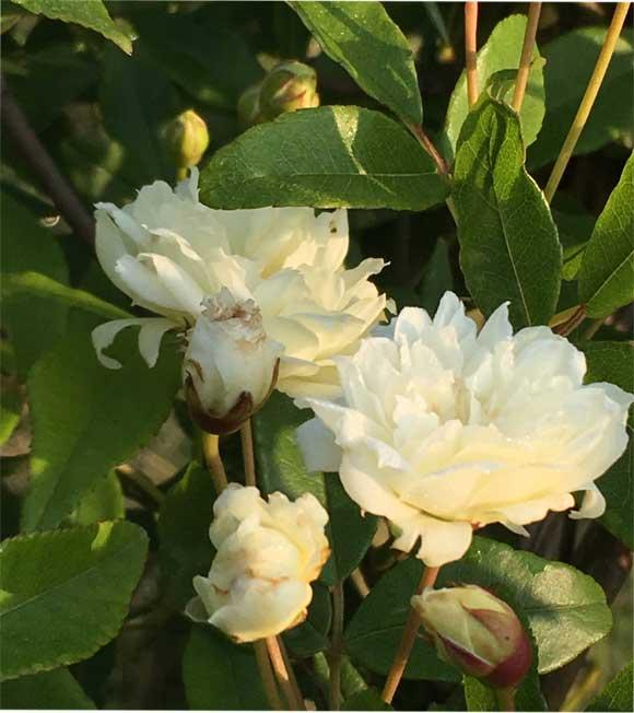 白花モッコウバラ