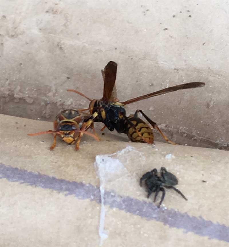 春のアシナガバチ