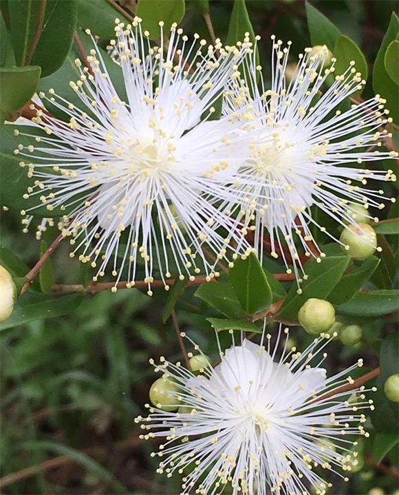 6月のマートルの開花