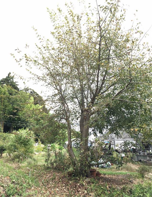 ギンヨウ菩提樹