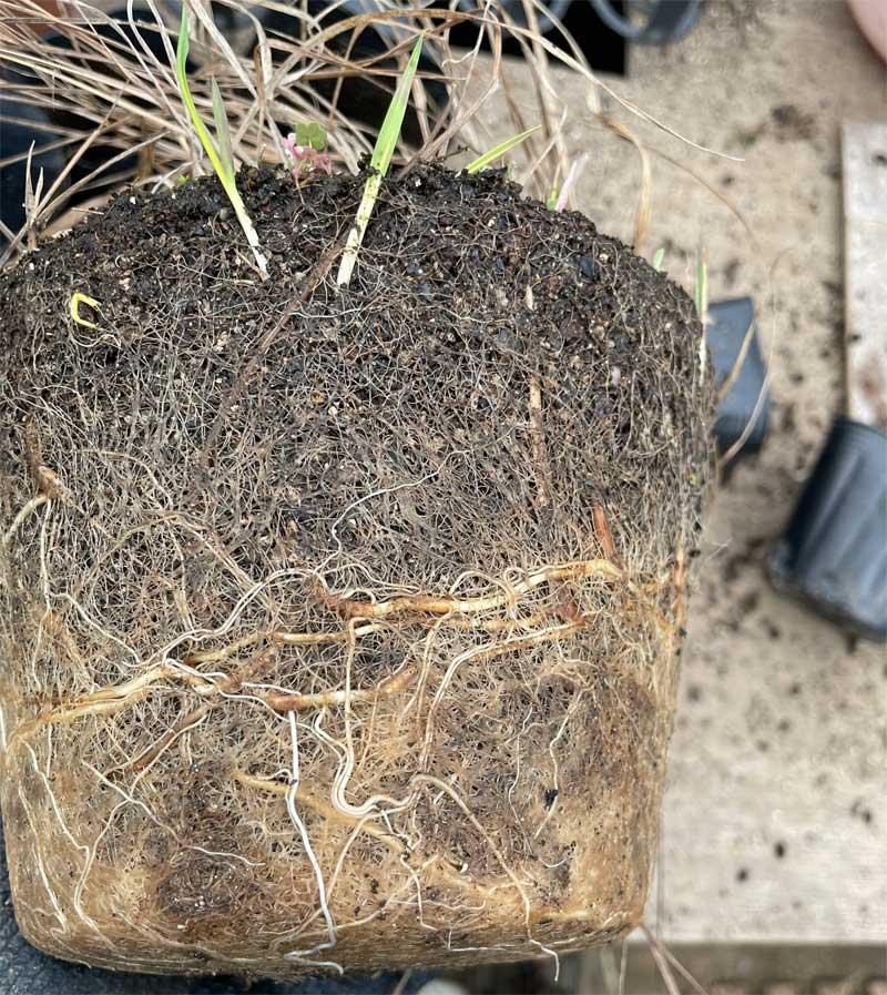 スイートグラスの地下茎