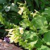 こんな場所にはこのハーブ-黄花アキギリ